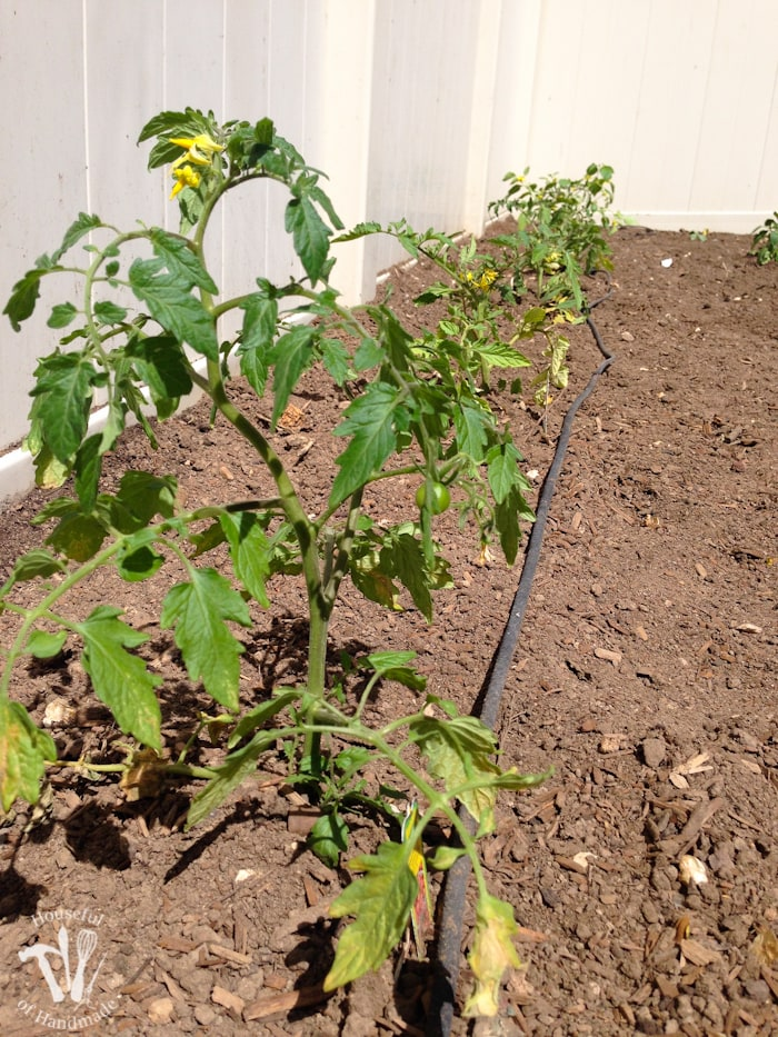 If you haven't tried planting a vegetable garden yet, you have to read this. Here are 10 reasons you need to plant a vegetable garden. | Housefulofhandmade.com