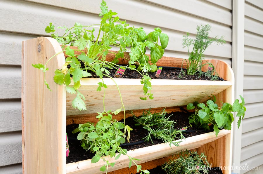 Cilantro, basil, dill, marjoram, rosemary, and lemon balm planted in the DIY vertical garden. The perfect cedar wall garden for herbs. Housefulofhandmade.com