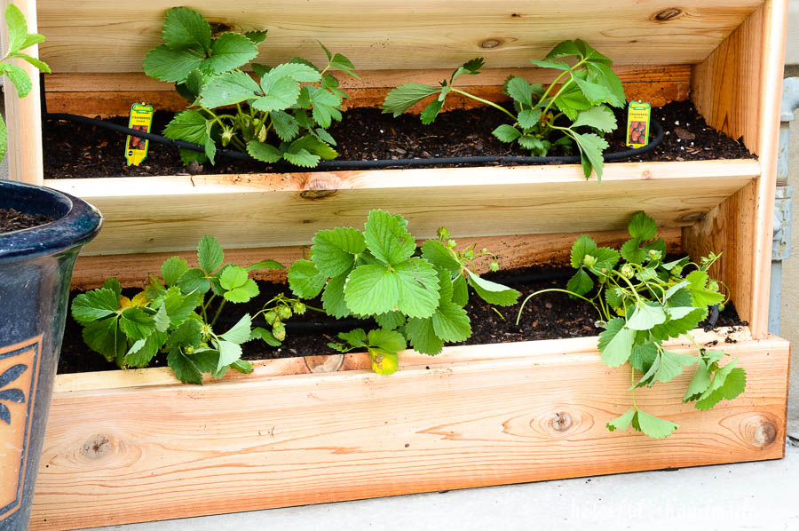 Strawberries planted in the DIY vertical garden are perfect for summer. There is so much room in this easy to build cedar garden. Housefulofhandmade.com