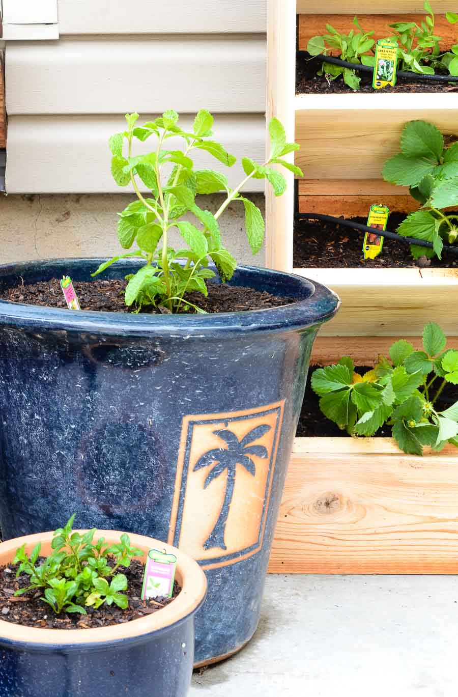 Plant mint in pots to keep them from taking over your garden space. Housefulofhandmade.com