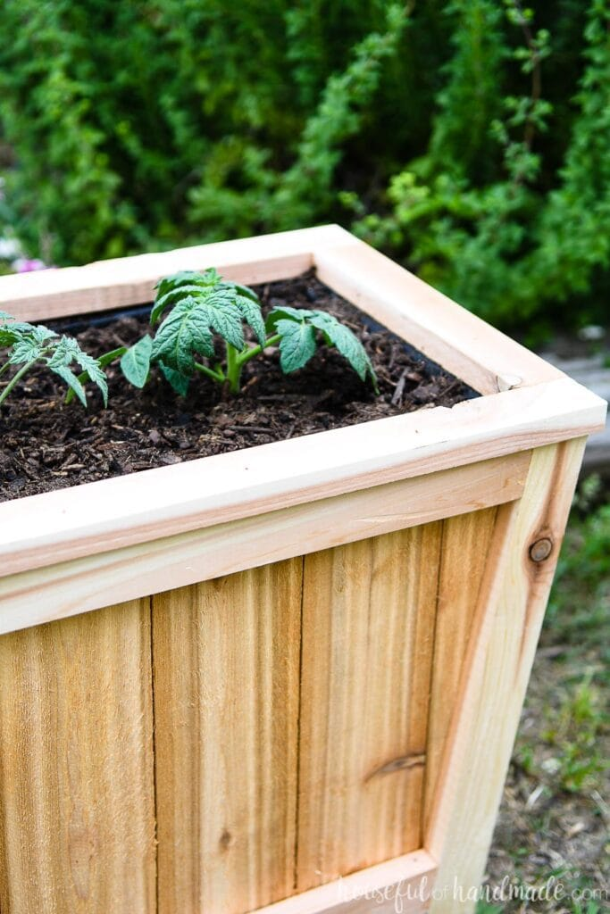 Top view of tapered cedar planter with two tomato starts planted in it.